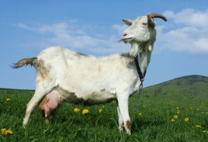 A goat in a pasture with a grassy hill in the backround