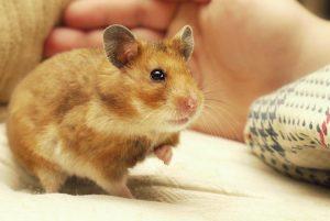 Hamsters fokken